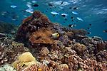 Coral reef, Indonesia, Raja Ampat