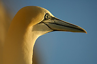 Northern gannet or booby, Morus bassanus, portrait, Bass Rock, Scotland, Great Britain, North Sea, Atlantic Ocean