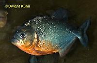 TP01-505z  Red-bellied Piranha, Pygocentrus nattereri