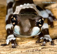 0305-0927  Froglet, Amazon Milk Frog (Marbled Tree Frog), Close-up Details, Trachycephalus resinifictrix (formerly: Phrynohyas resinifictrix)  © David Kuhn/Dwight Kuhn Photography