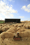 Israel, sheeps at the unrecognized Bedouin village Beer Mashash in the Negev