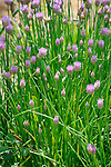 Mary Ann Banks organic garden. Chive in flower.