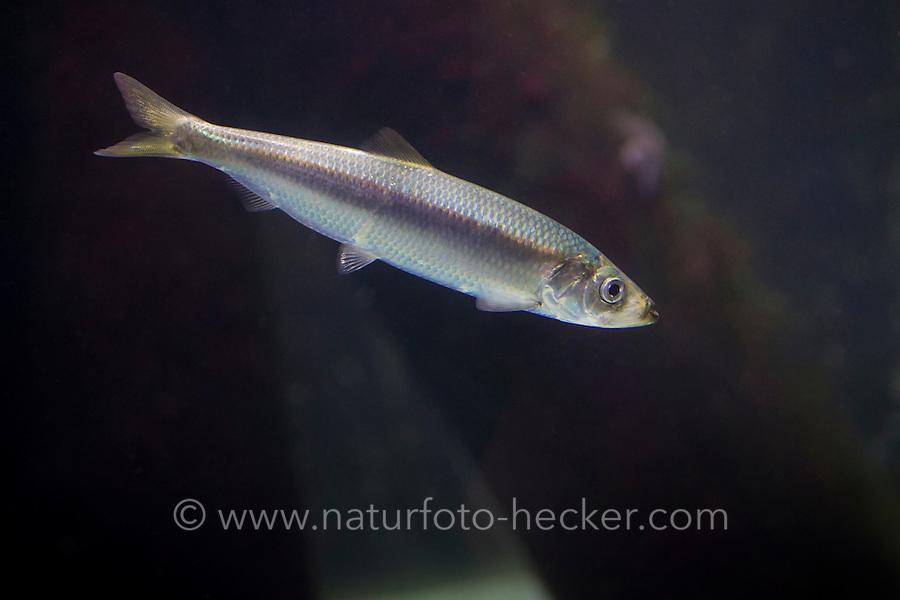 Hering, Heringe, Clupea harengus, Atlantic herring, herring, herrings, digby, mattie, slid, yawling, sea herring