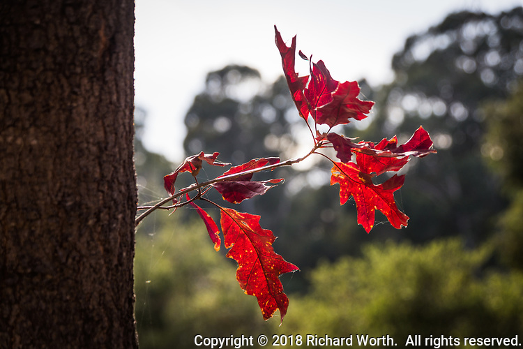 Glowing deep red leaves stretch from a tree against a soft green  and white background.