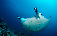 reef manta ray, Manta alfredi, Maldives, Indian Ocean, Meemu Atoll