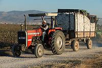 TURKEY, Kesik, near Menemen, harvest of conventional cotton  / TUERKEI, Kesik, bei Menemen, konventioneller Baumwollanbau, nach Verspruehen eines Entlaubungsmittel wird die Baumwolle maschinell geerntet