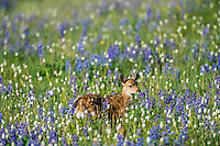 Columbian black-tailed deer (Odocoileus hemionus columbianus) fawn in subalpine meadow covered with wildflowers.  Pacific Northwest.  Summer.