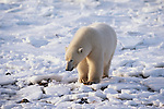 Polar bear on ice, Canada