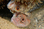 Mating Pair of Downey Blennies foolin around
