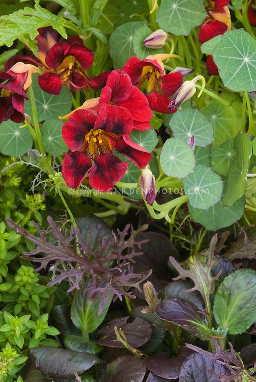 Gourmet Salad greens including edible Black Velvet Nasturtium flowers, Black velvet Nasturtium flowers aka Tom Thumb Black Velvet Tropaeoleum, dwarf