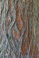 Schwarz-Pappel, Schwarzpappel, Rinde, Borke, Stamm, Pappel, Saarbaum, Populus nigra, black poplar, black-poplar, rind, bark, stem, Le peuplier noir