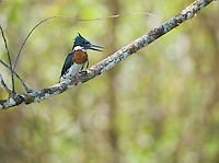 Amazon kingfisher, Chloroceryle amazona, perched on a branch beside the Tarcoles River, Costa Rica