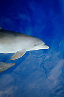 wild bottlenose dolphins bow-riding, Tursiops truncatus, off Kona Coast, Big Island, Hawaii, Pacific Ocean