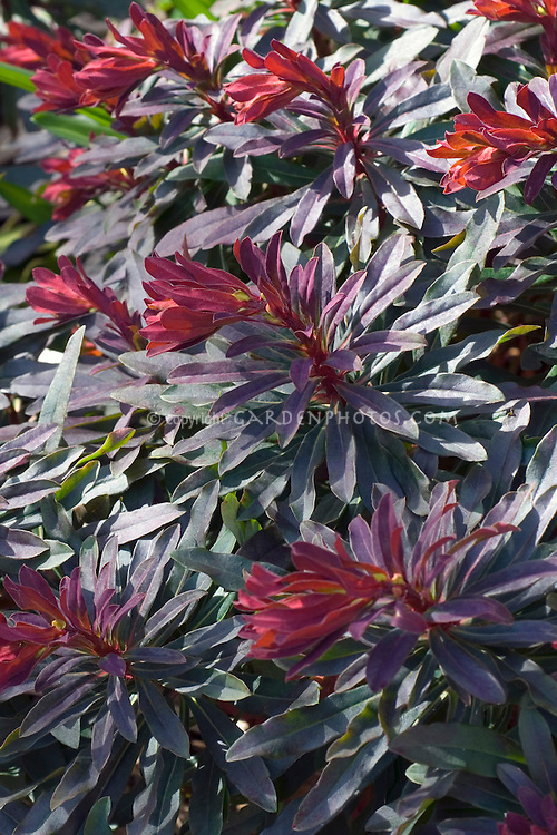 Euphorbia Ruby Glow perennial plant in dark leaved foliage with red tips