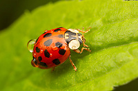 Asian Lady Beetle (Harmonia axyridis), form succinea