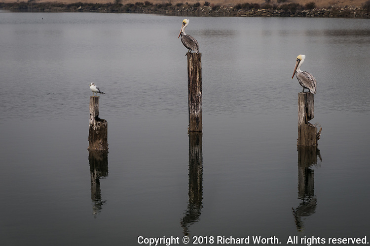 A Ring-billed gull and two Brown pelicans rest on pilings in the San Leandro Bay at Martin Luther KIng Jr. Regional Shoreline near the Oakland International Airport.