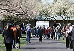 April 17, 2014: Horses making their way towards the walking ring for the 6th race at Keeneland Racecourse.  Candice Chavez/ESW/CSM