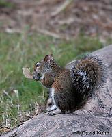 0208-08zz  Gray Squirrel Feeding, Sciurus carolinensis - © David Kuhn/Dwight Kuhn Photography