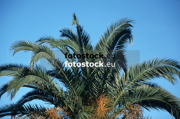 palm tree<br /> palmera<br /> Dattelpalme