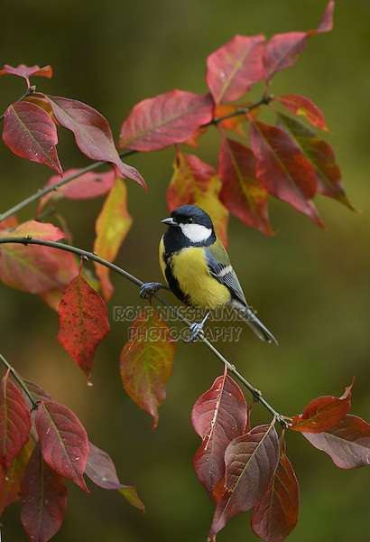 Great Tit (Parus major), adult perched on autumn branch, Oberaegeri, Switzerland, Europe