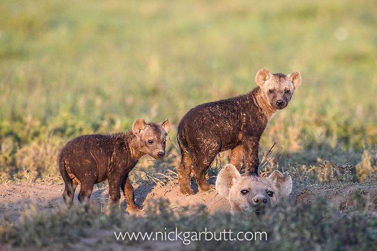 Female spotted hyena (Crocuta crocuta) with young outside den. Short grass plains near Ndutu,  Ngorongoro Conservation Area / Serengeti Tanzania.