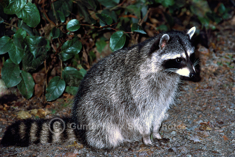 Wild Raccoon (Procyon lotor) standing at Night