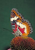 "CETHOSIA HYPSEA, """"Lacewing Butterfly"""", an Asian butterfly, resting on Purple Coneflower, at Audubon Zoo. Family - Nymphalidae; Order - Lepidoptera; Class - Insecta; Phyllum - Arthropoda; Kingdom - Animalia. NEW ORLEANS LOUISIANA USA AUDUBON ZOO."