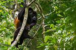 Mantled Howler Monkey (Alouatta palliata) family in tree, Osa Peninsula, Costa Rica