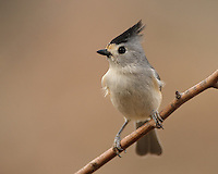 The Tufted Titmouse is nearly identical with the Black-crested Titmouse.