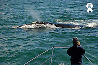 Man whale watching Southern right whales breaching (Eubalaena australis), South Africa, South Western Cape, Hermanus (Licence this image exclusively with Getty: http://www.gettyimages.com/detail/98178988 )
