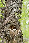 A great horned owl perches above its owlets sitting in their nest in the hollow of a cottonwood tree in Grand Teton National Park, Wyoming.