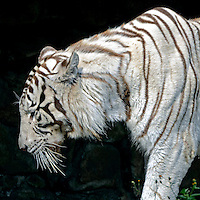 Animais. Mamiferos. Carnivoros. Tigre-branco (Panthera tigris tigris) no Zoologicol. SP. Foto de Juca Martins.