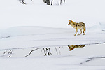 Adult coyote (Canis latrans) foraging on ice. Madison Valley, Yellowstone National Park, Wyoming, USA.