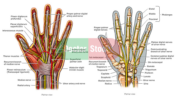 This series of two illustrations shows the anatomy of the hand from a palmar view, including the musculature, bones and arteries.