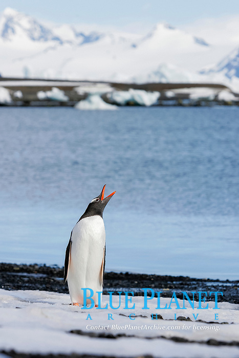 Adult gentoo penguin (Pygoscelis papua) calling out in the Aitcho Island Group, South Shetland Islands, Antarctica.