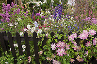 Perennial Flower Garden with Clematis Josephine, double center pink, climbing on black picket fence, with Syringa lilac, Delphinium, Iris, Allium, Cornus etc mixed garden use, vines