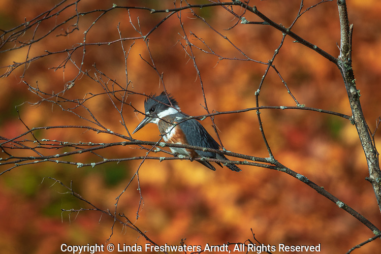 Female belted kingfisher in northern Wisconsin.