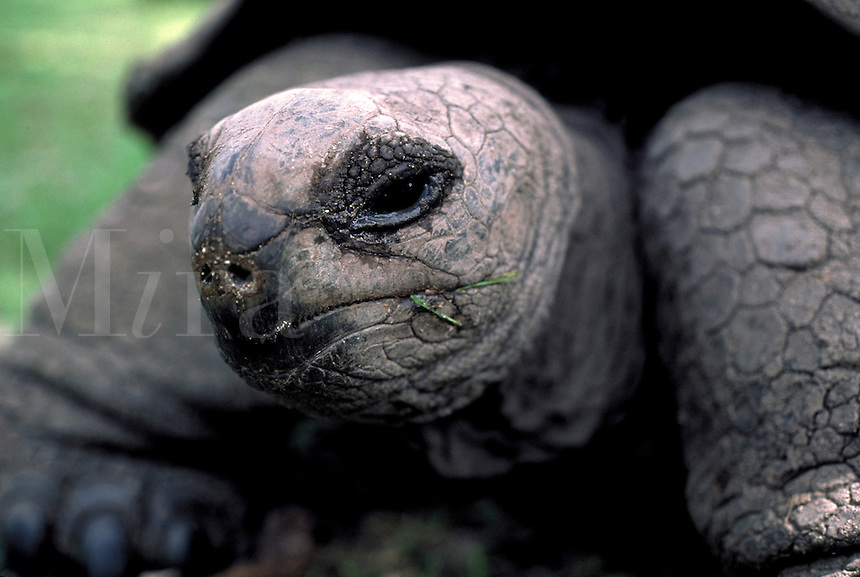 The giant tortoise, close up, reptiles, Seychelles wildlife. Giant tortoise, Testudo gigantea. Seychelles Islands, Seychelles Western Indian Ocean.
