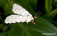 0510-1005  Salt Marsh Moth - Hodges#8131, Estigmene acrea  © David Kuhn/Dwight Kuhn Photography