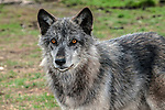 grey wolf mixed chocolate color phase facing left looking at camera 3/4 view