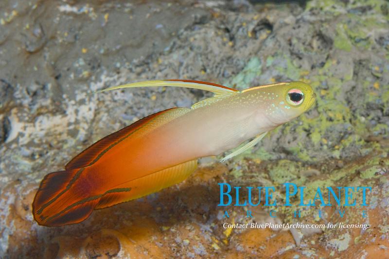 Bicolor Firefish (Nemateleontris magnifica) (c) (do)