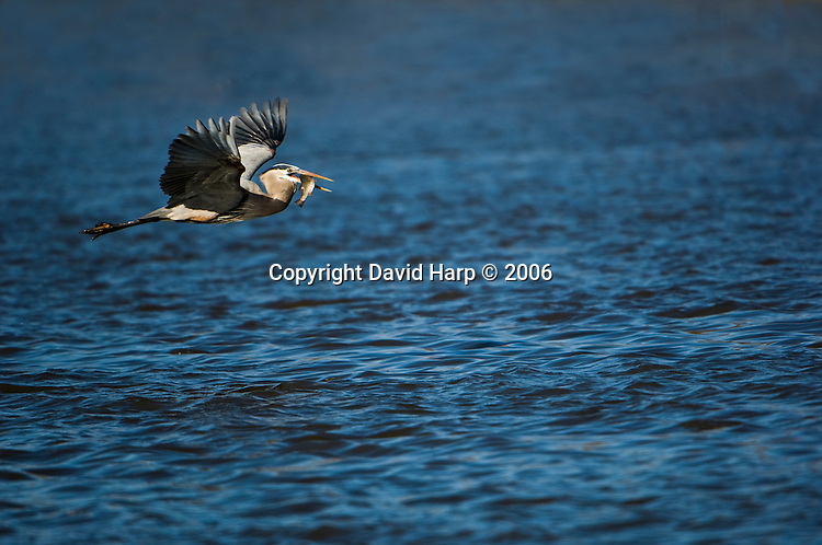 A great blue heron flies over the Nanticoke River with a fish that had been discarded by pound net fishermen.