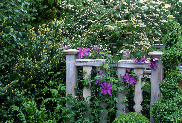 Clematis on pretty, blue rustic wooden fence, large purple flowered vine, with blooming Viburnum