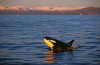 Killer whale, Orcinus orca, Juvenile porpoising at sunset, Tysfjord, Arctic Norway, North Atlantic