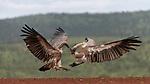 Fighting vultures by Elzabe Bogenhofer
