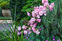 Pink flowering shrub rose 'Cornelia' in mixed border with rosemary and flowering geranium sanguineum sprawling groundcover; Gary Ratway garden
