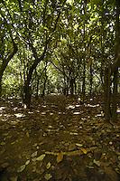 A path through an older cocoa plantation near the coast in Costa Rica