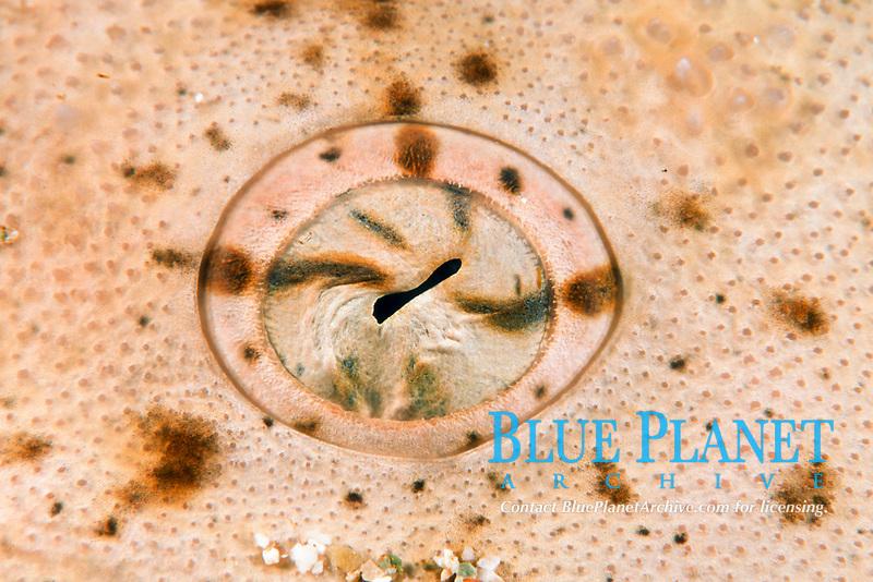 Angel shark eye detail, Islas San Benito, Squatina californica, Mexico, East Pacific Ocean