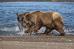 Pictured:  Sequence 1 of 13:  The mum (foreground) having caught the fish<br /> <br /> Grizzly bears viciously attack each other as they battle over a fish.  The two brown-haired bears became aggressive as they came to blows over their food, digging their paws and teeth into each other.<br /> <br /> Photographer Kevin Dooley spotted the female bear, thought to be about 16 years old, fighting with the younger five-year-old male bear in southwestern Alaska.  SEE OUR COPY FOR DETAILS.<br /> <br /> Please byline: Kevin Dooley/Solent News<br /> <br /> © Kevin Dooley/Solent News & Photo Agency<br /> UK +44 (0) 2380 458800