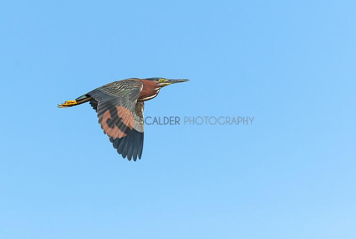 Green Heron in flight with wings in downstroke, against bright blue sky